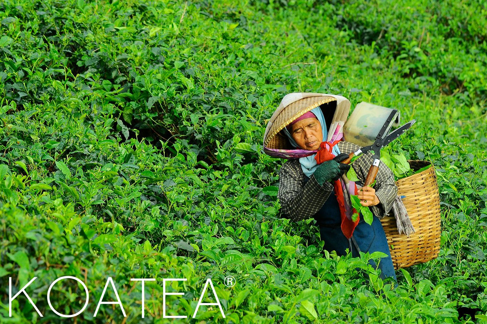 Cueilleuse de thé traditionnelle