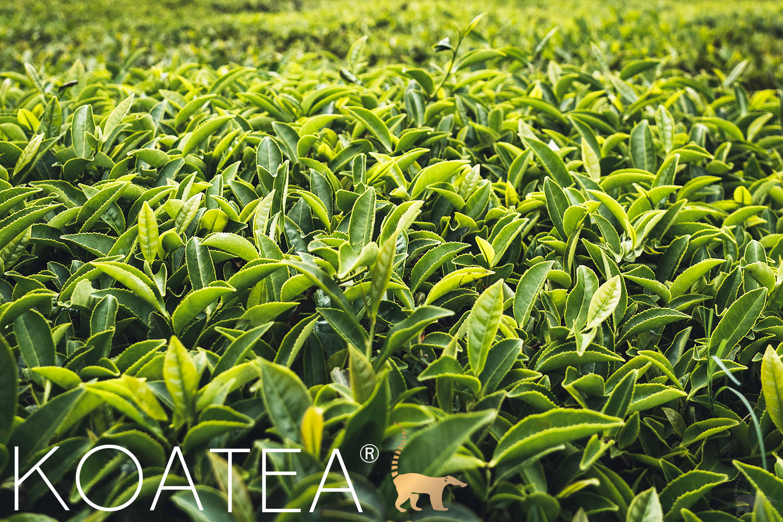 Champ de théiers verts