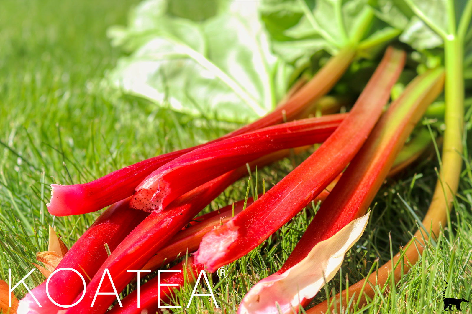 Véritables feuilles de rhubarbe mûres