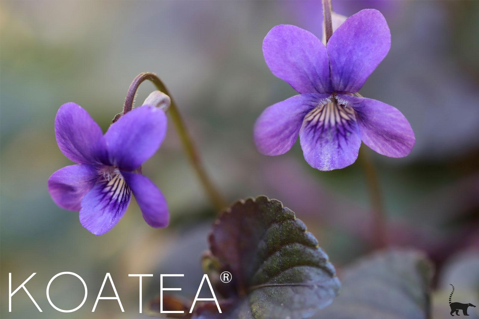 Violettes sauvages en fleur