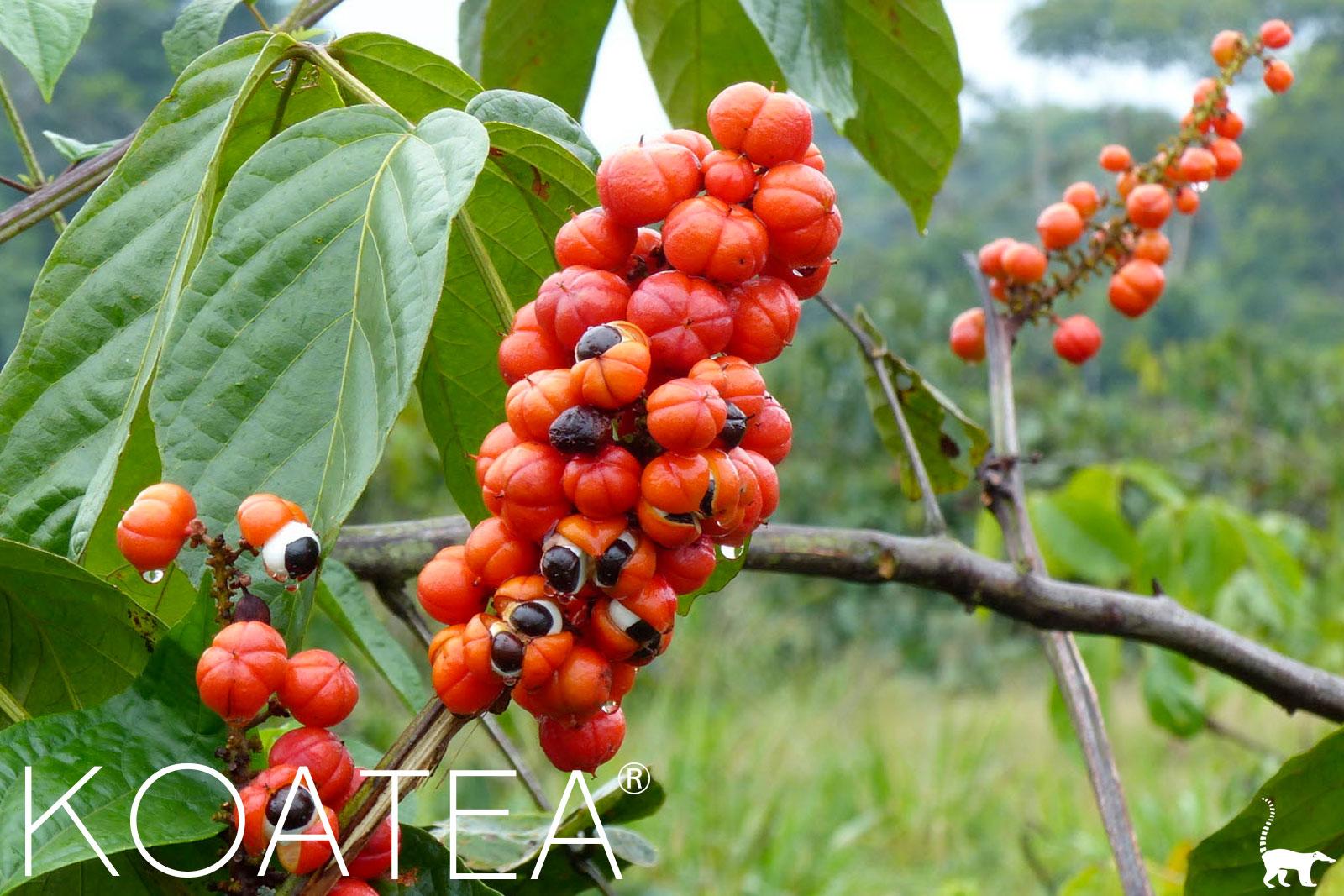 Baies rouges de guarana