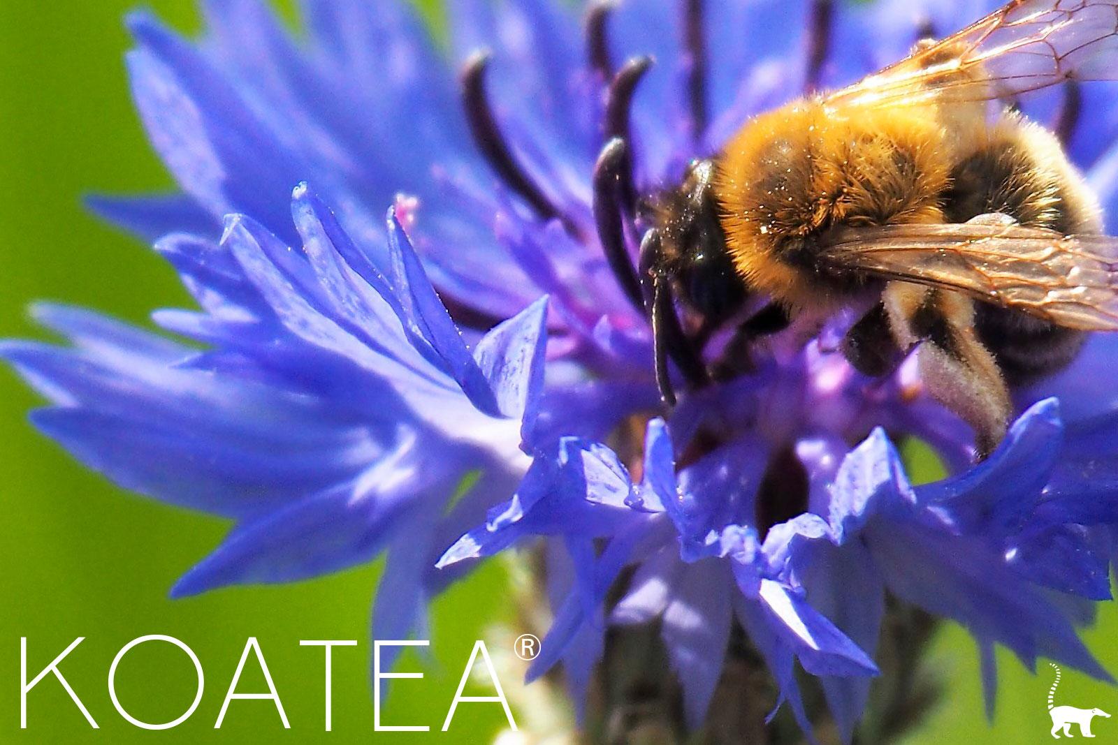 Abeilles butinant des fleurs de bleuets