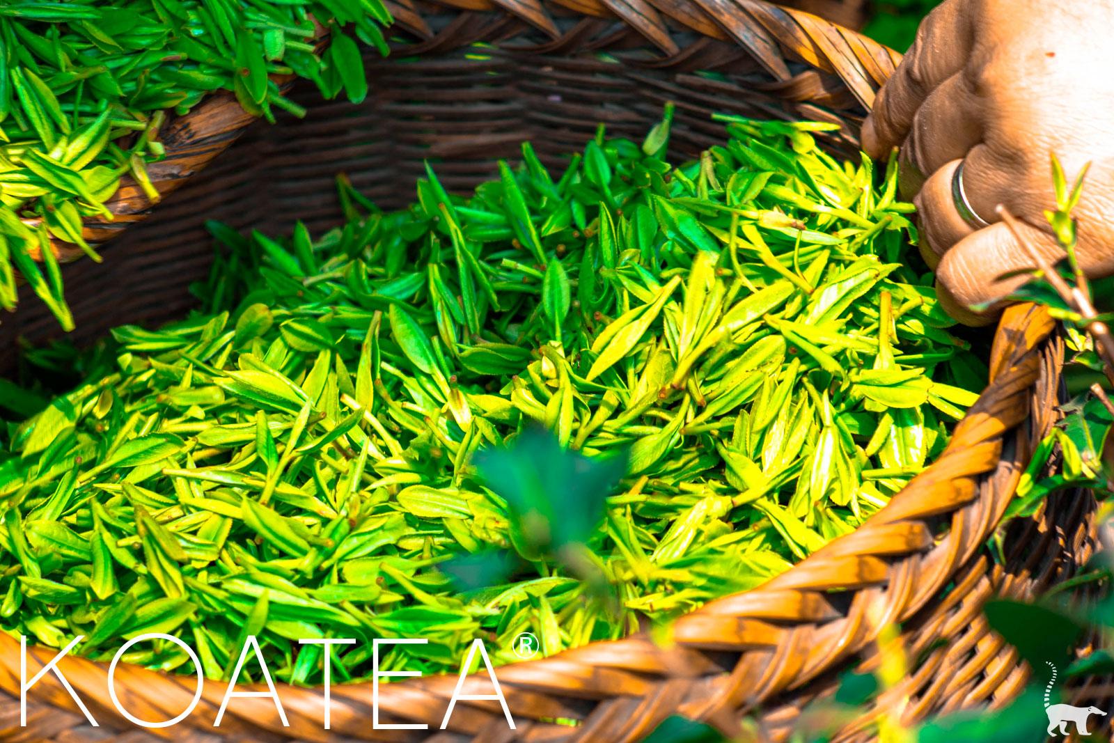 Cueillette de feuilles de thé vert
