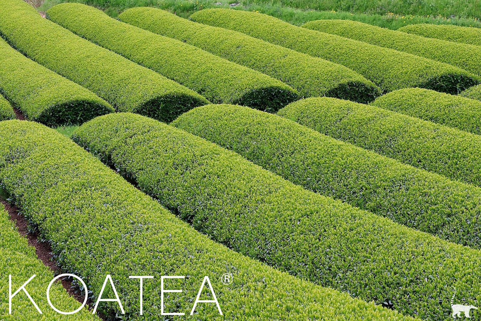 Champ de thé vert Matcha u Japon